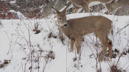 Scenes Of Deer In The Snow (3 Of 4) stock footage