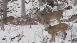 Scenes Of Deer In The Snow (4 Of 4) stock footage