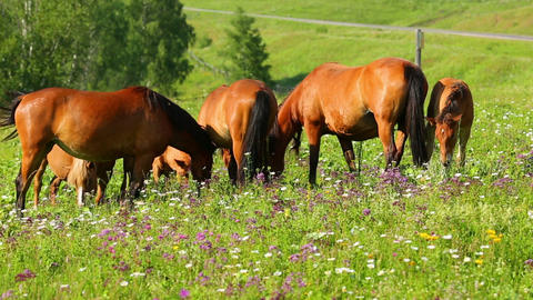 group of horses grazing on summer meadow Footage