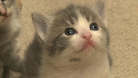 kittens and cats 3 27 Footage