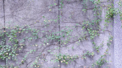 Vines on a wall Footage