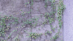 Vines on a wall Live Action
