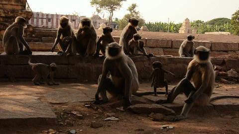 India monkey on a rock Footage