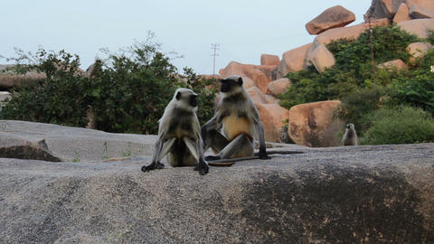 India monkey on a rock Footage