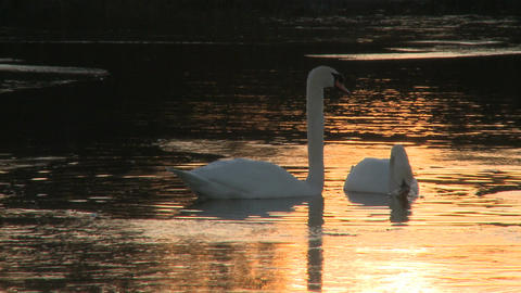 swans sunset Footage