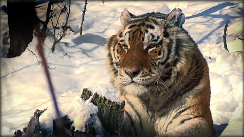 Slow Motion With A Tiger On A Tree Trunk Resting stock footage