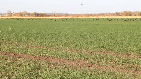 Flocks of birds in agricultural fields Footage