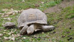 giant tortoise Footage