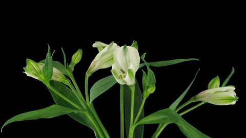 Time-lapse of opening white peruvian lily with ALPHA Footage