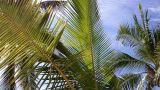 Coconut Palm Tree 02 leaves Footage