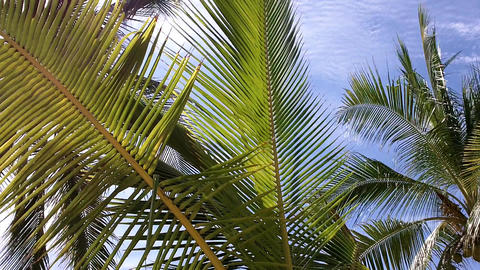 Coconut Palm Tree 02 leaves Stock Video Footage
