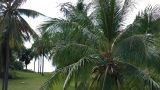 Coconut Palm Trees 03 Footage
