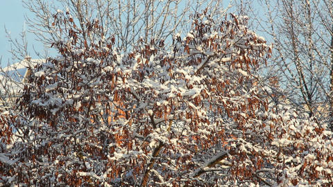 Trees in Snow 2 Stock Video Footage