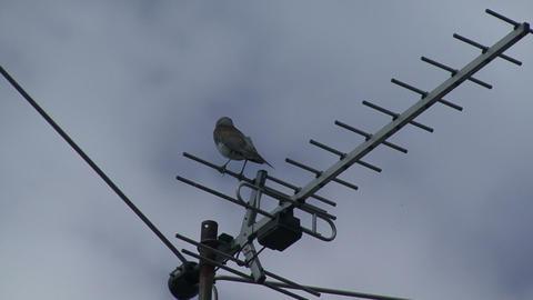Bird on antenna Live Action