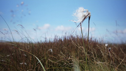 Cotton Grass HD Stock Footage stock footage