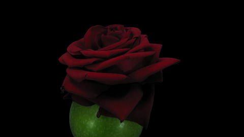 Rotating and dying Red Naomi rose in apple with ALPHA Footage
