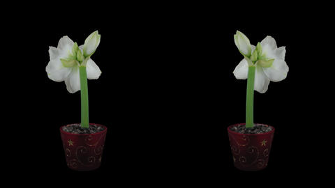 "Time-lapse of opening white ""Alfresco"" amaryllis Christmas flower Footage"