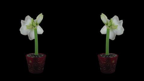 "Time-lapse of opening white ""Alfresco"" amaryllis Christmas flower Footage"