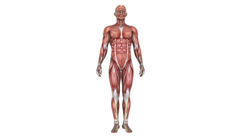 4k 男性の人体模型 Animation