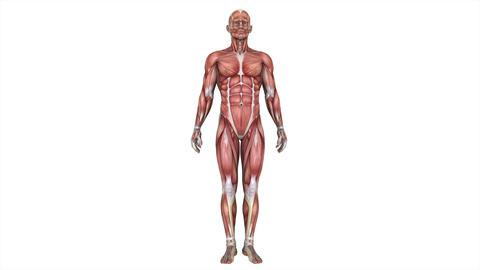 男性の人体模型 Animation