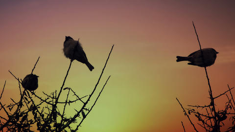Sparrows On A Branch At Dawn stock footage