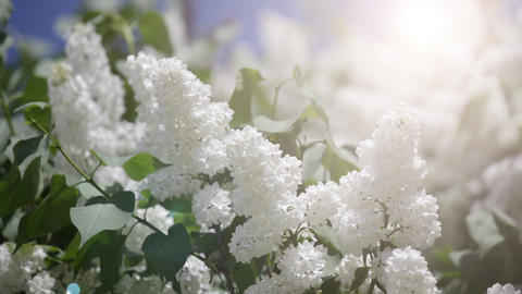 Branch Of A White Lilac Waves On A Wind stock footage