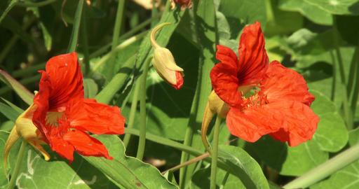 Nasturtium with orange flowers Footage
