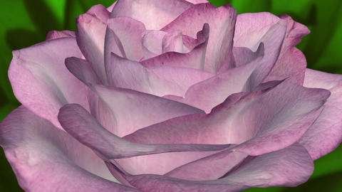 Pink Rose in Green Leaves - Spinning Loop Animation