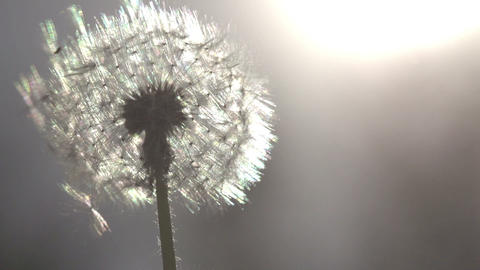 Dandelion On Sunny Meadow HD stock footage