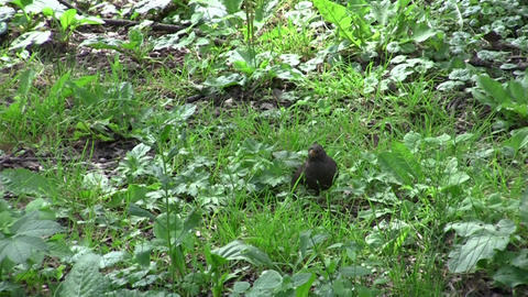 Blackbird looking for food in the grass 01 Footage