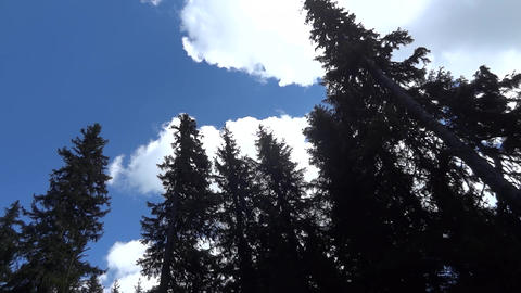Tall trees which are projected on the sky 02 Footage