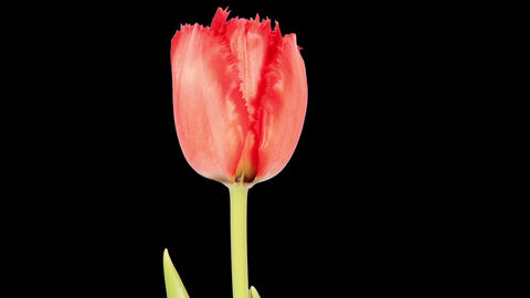 Red Tulip Bloom Buds ALPHA Matte, FULL HD (Tulipa Madison Garden) stock footage