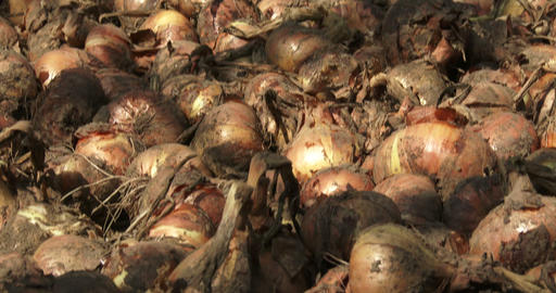 Close up of onions drying in a greenhouse Footage