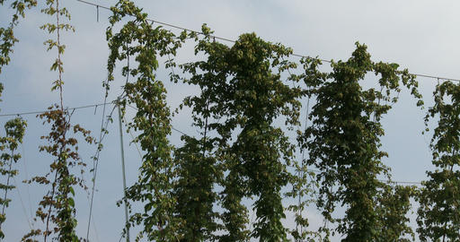 Hops being cultivated with big wooden poles Footage