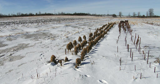Kale leftovers in field covered with snow Footage