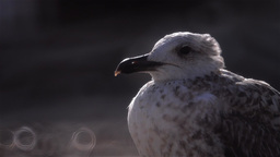 Seagull close up Footage