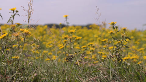 Yellow Flowers On Field 01 stock footage