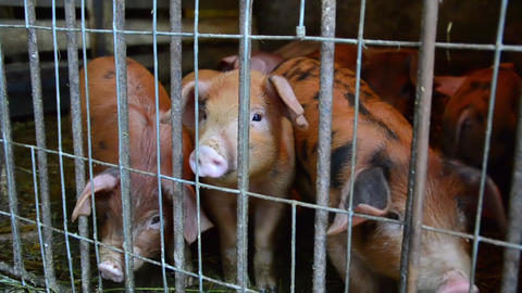 Small piglet in playpen 01 Footage