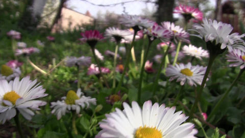 White flowers in spring 02 Footage