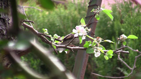 Sparrow Sitting In Greened Tree 02 stock footage