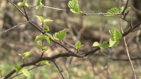 Spring in the birch forest Footage