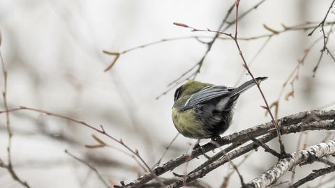 Great Tit 3 stock footage