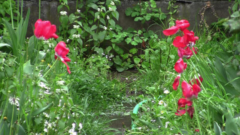 White and red spring flowers in the rain 01 Footage