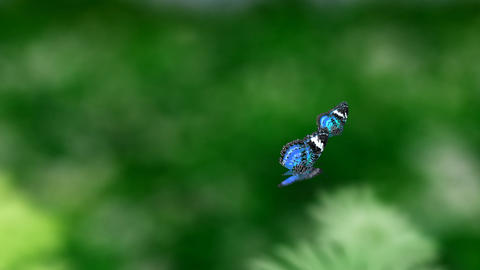 blue couple butterfly Animation