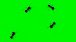 ANT WALK 04 jpg Stock Video Footage