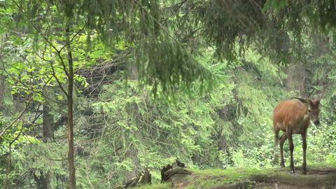 deer running in the mountains Stock Video Footage
