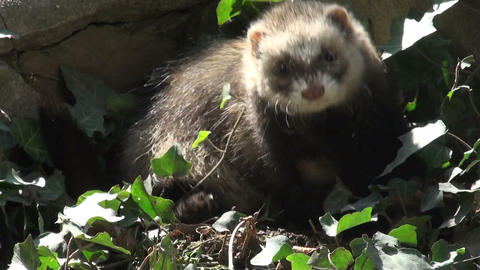 ferrets playing and searcher Stock Video Footage