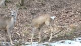deer running in the mountains Footage