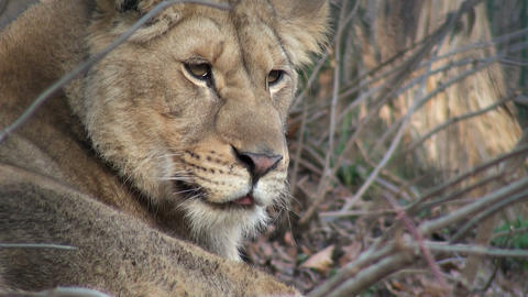 lion on a tree trunk resting Stock Video Footage