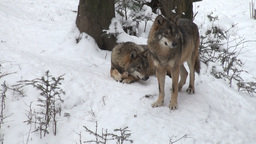wolves move through a forested area in winter Stock Video Footage